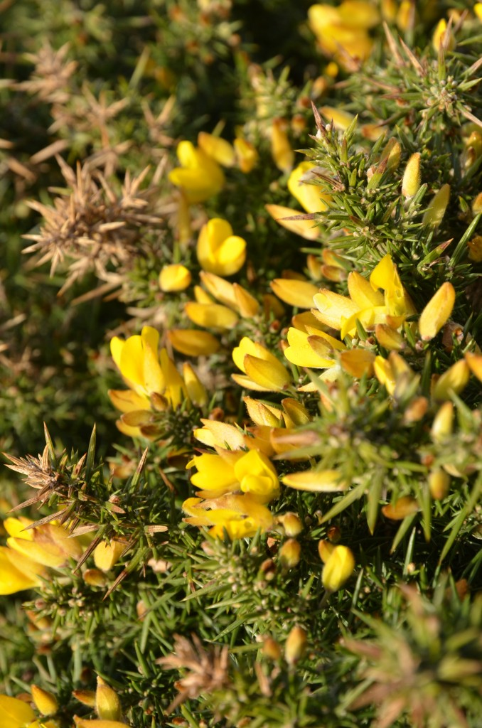 gorse-flower-granita-04
